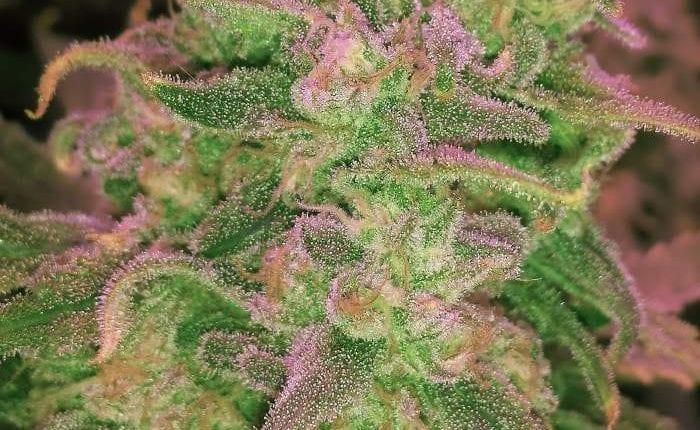 hawaii-maui-waui-strain