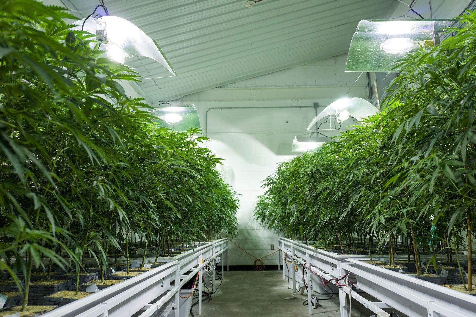 cannabis growth facility with plants